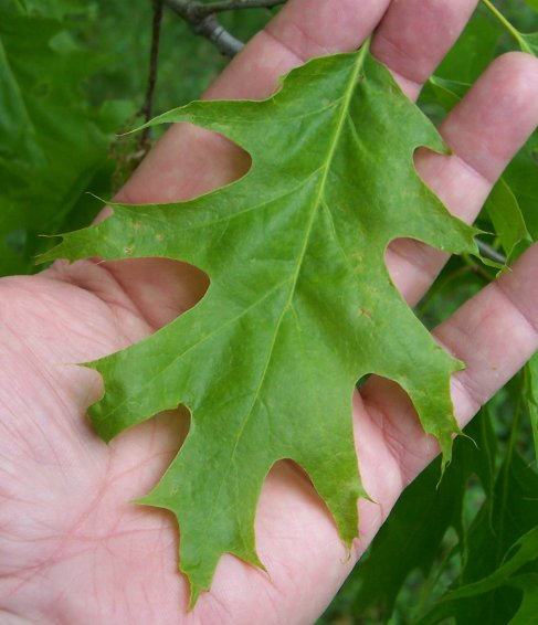 Red Oak Leaf ~ Northern red oak beech family alternate leaved tree