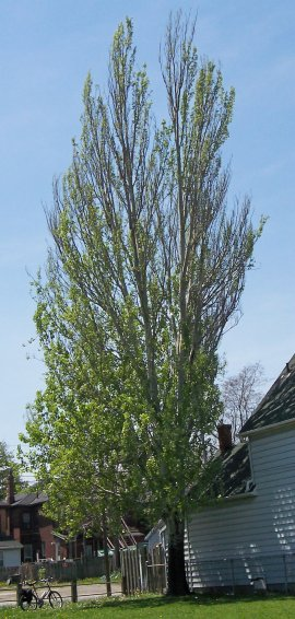 White Poplar Tree Leaf White Poplar - Willow ...