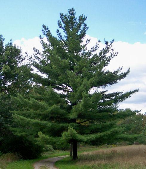 Eastern White Pine  Pine Family  Evergreen  Tree in